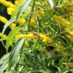 Bienen üben eine wichtige Bestandsregelung bei Ernte- und Forstschädlingen aus und bestäuben zahlreiche Wild- und Kulturpflanzen.